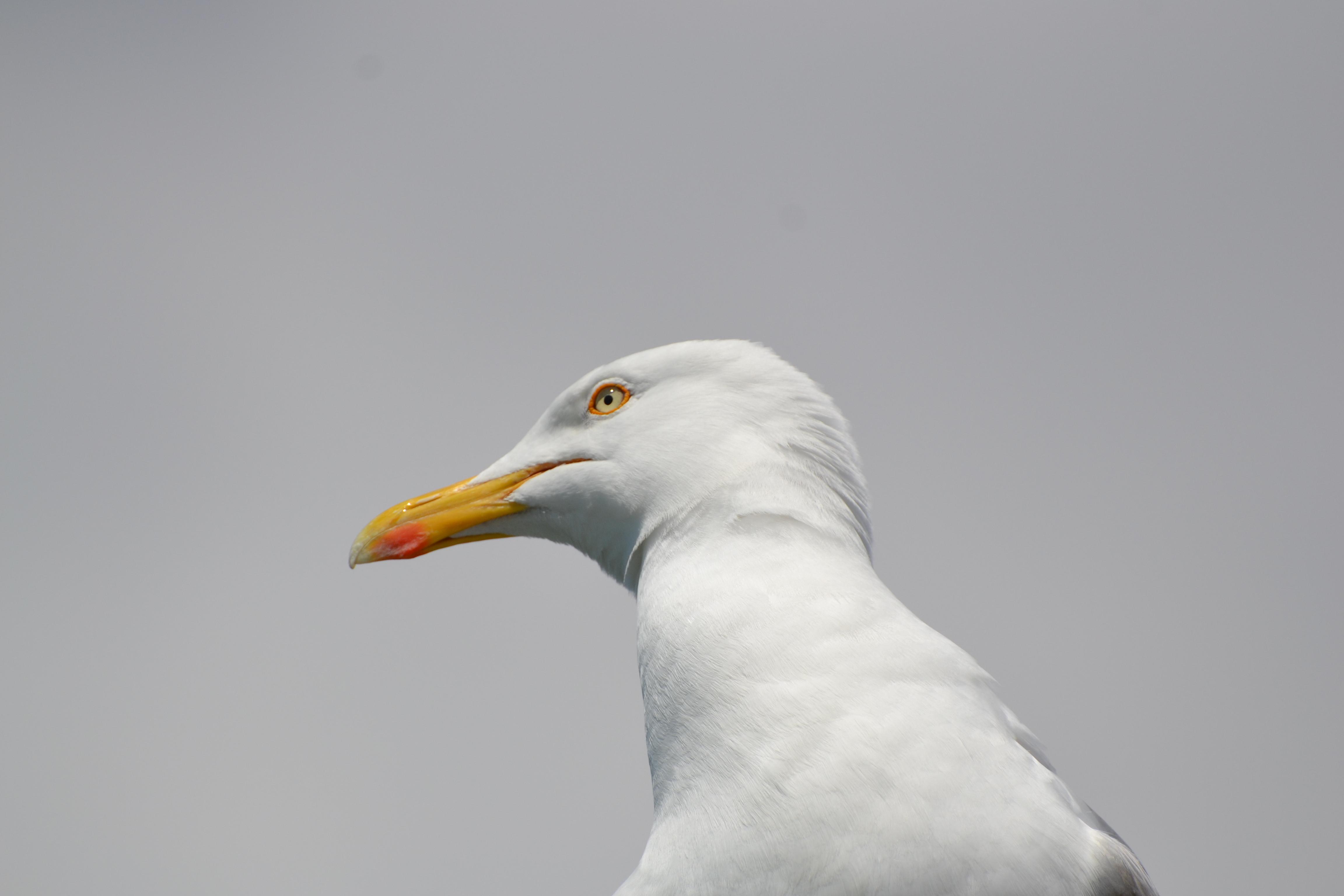 Gull's head
