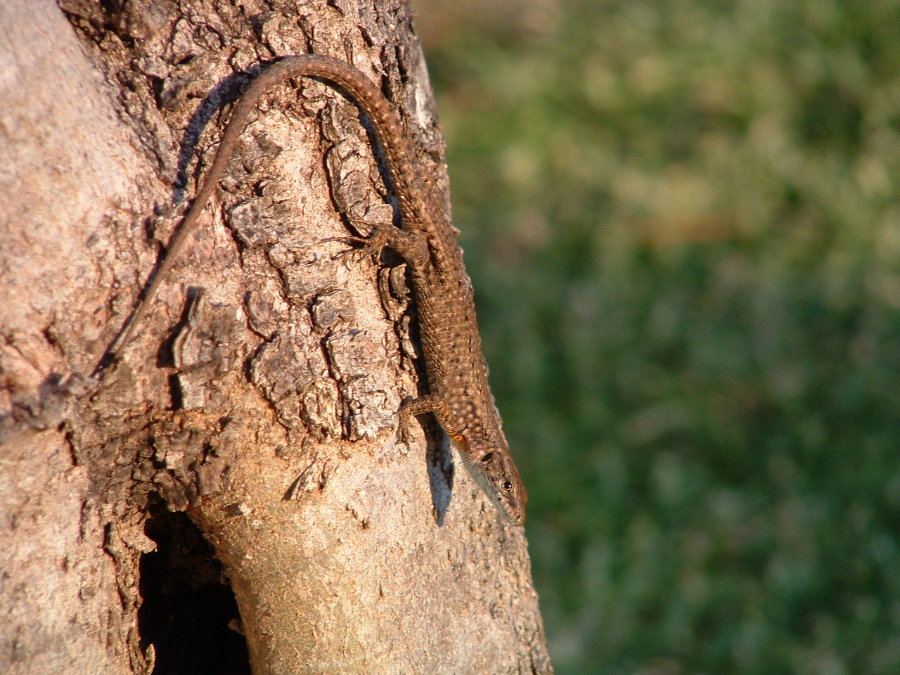 Lizard on tree