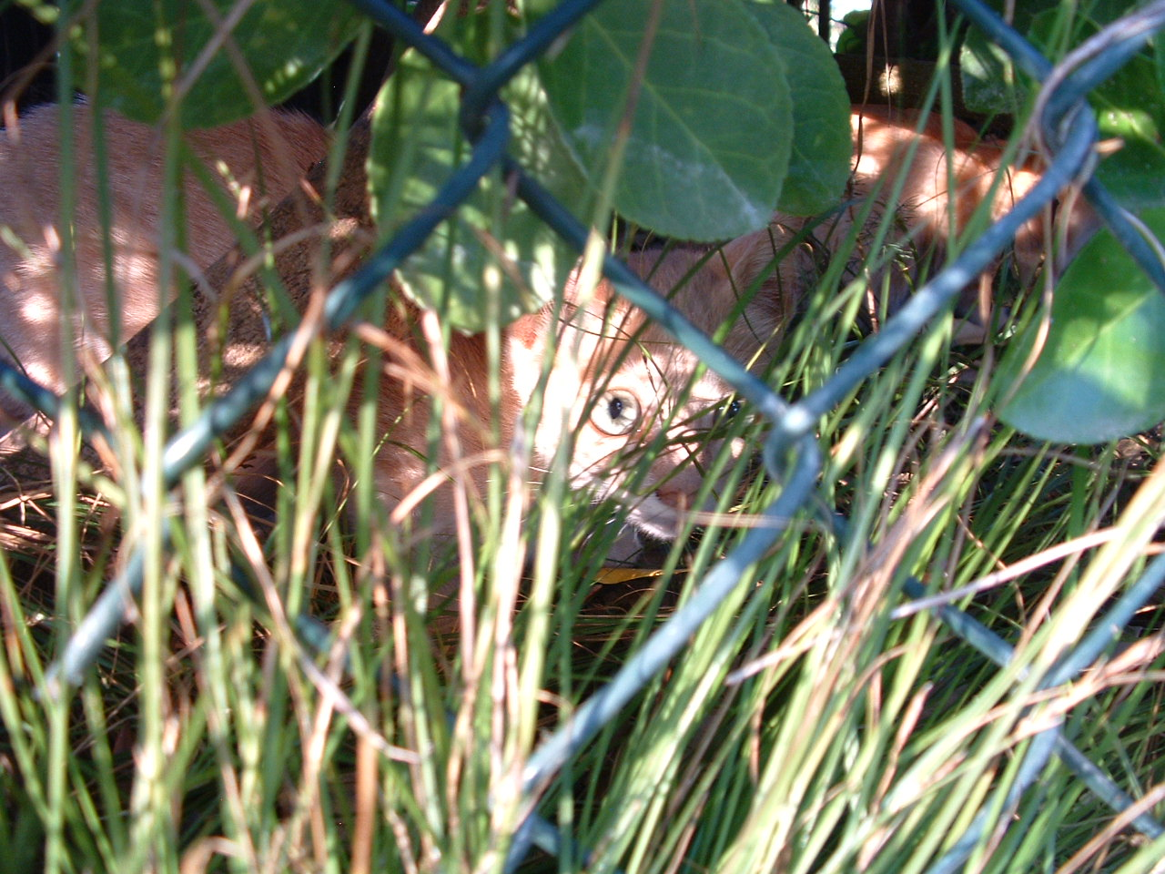 Ginger cat hiding