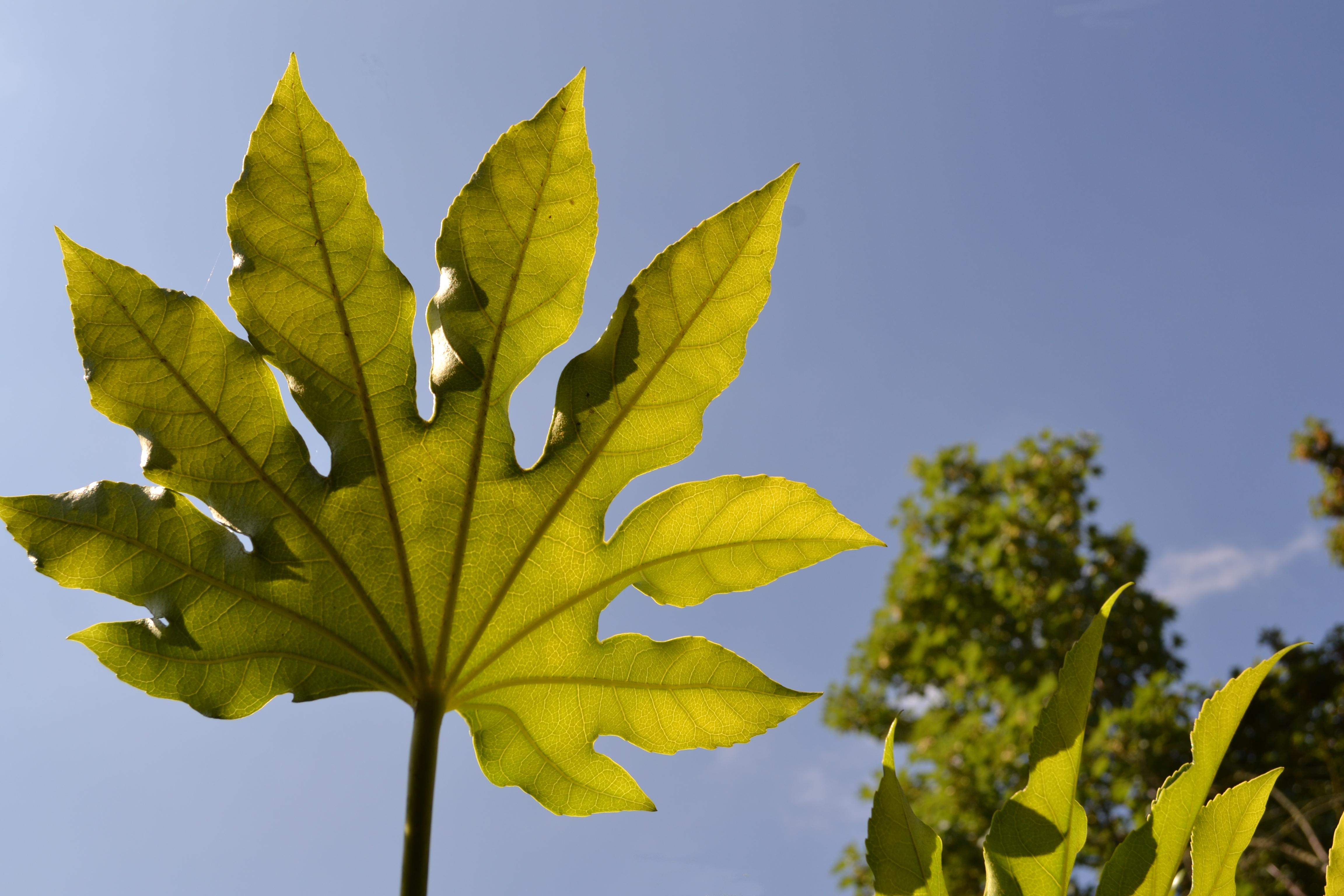 Caster Oil leaf