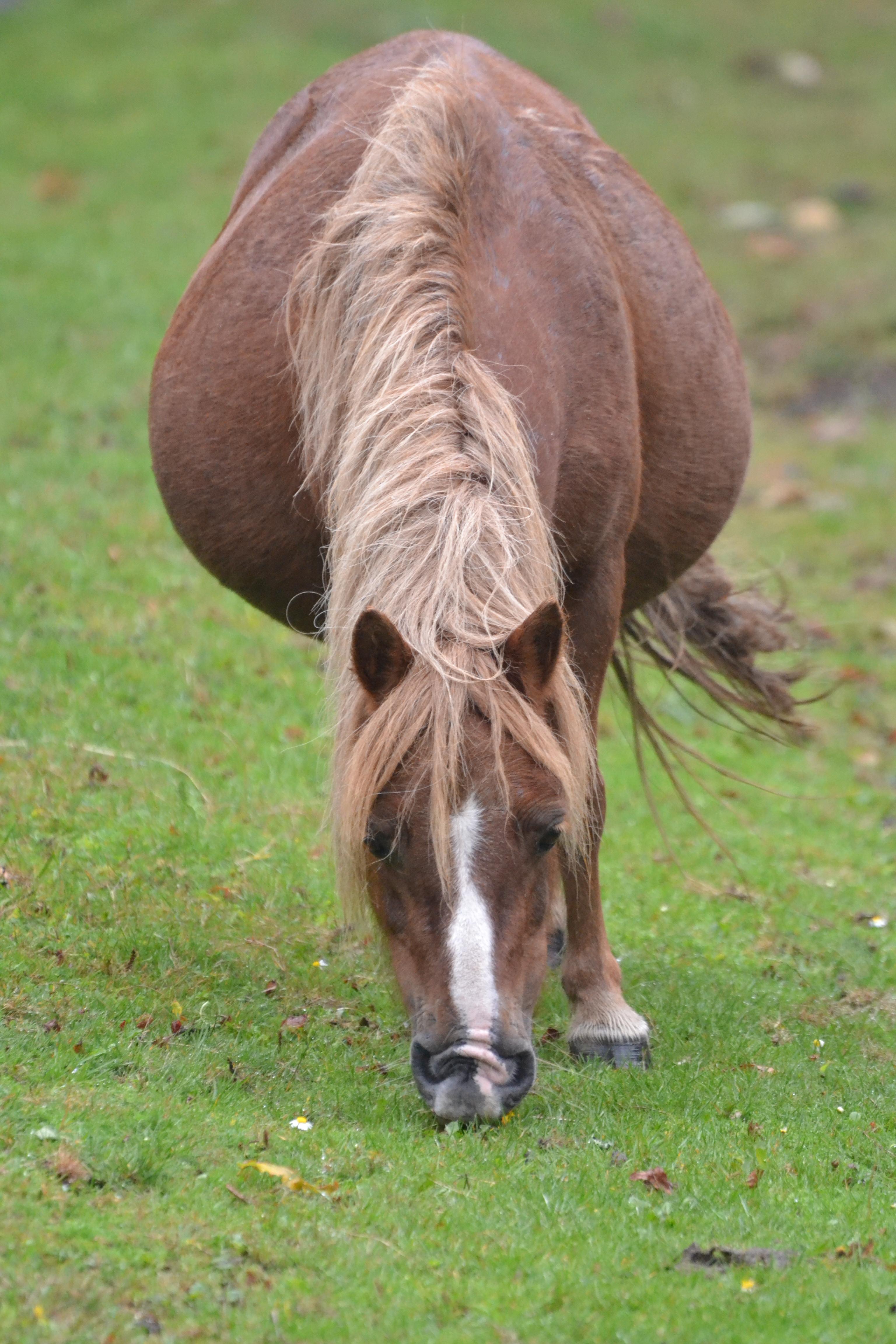 Shetland grazing