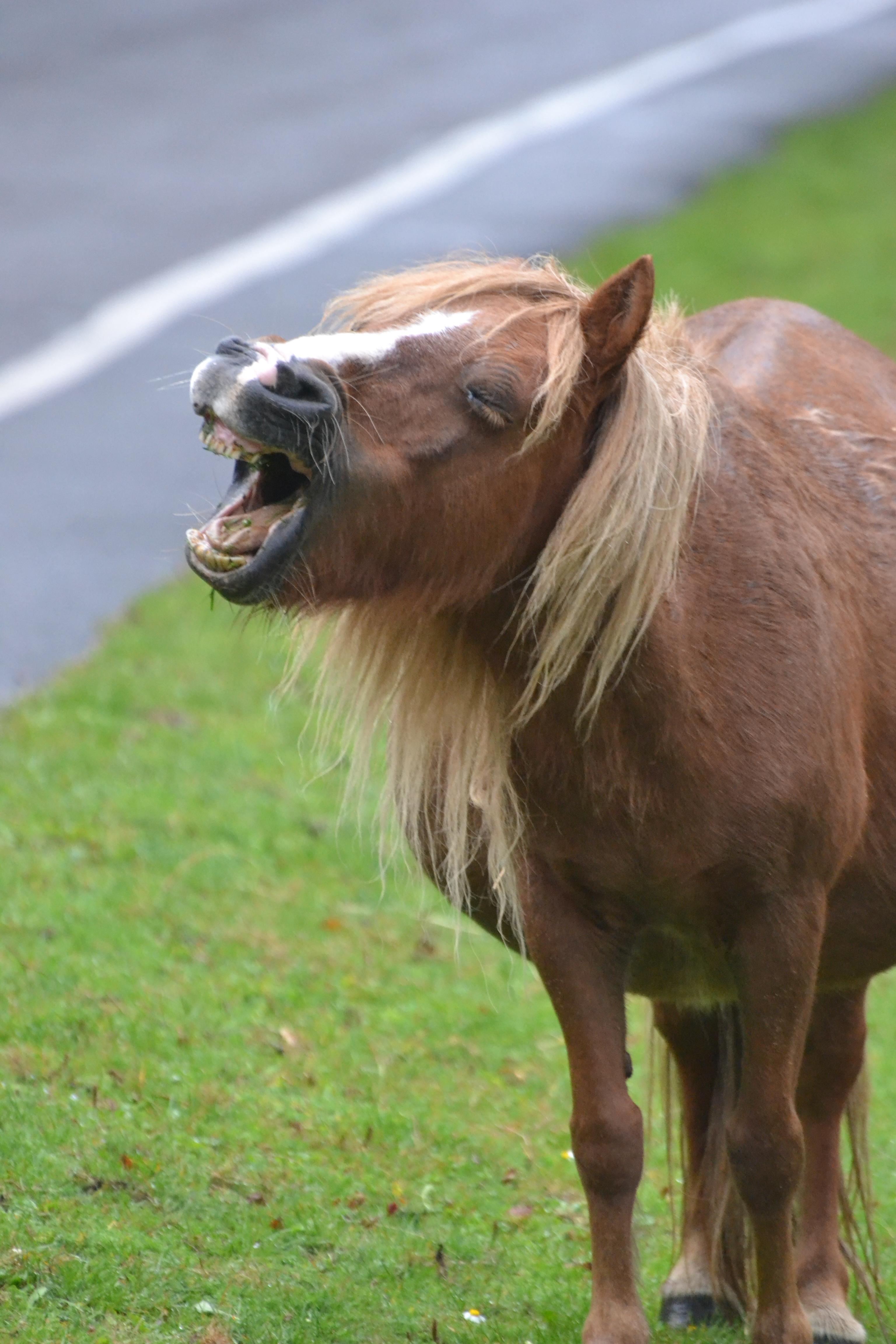 Shetland yawning