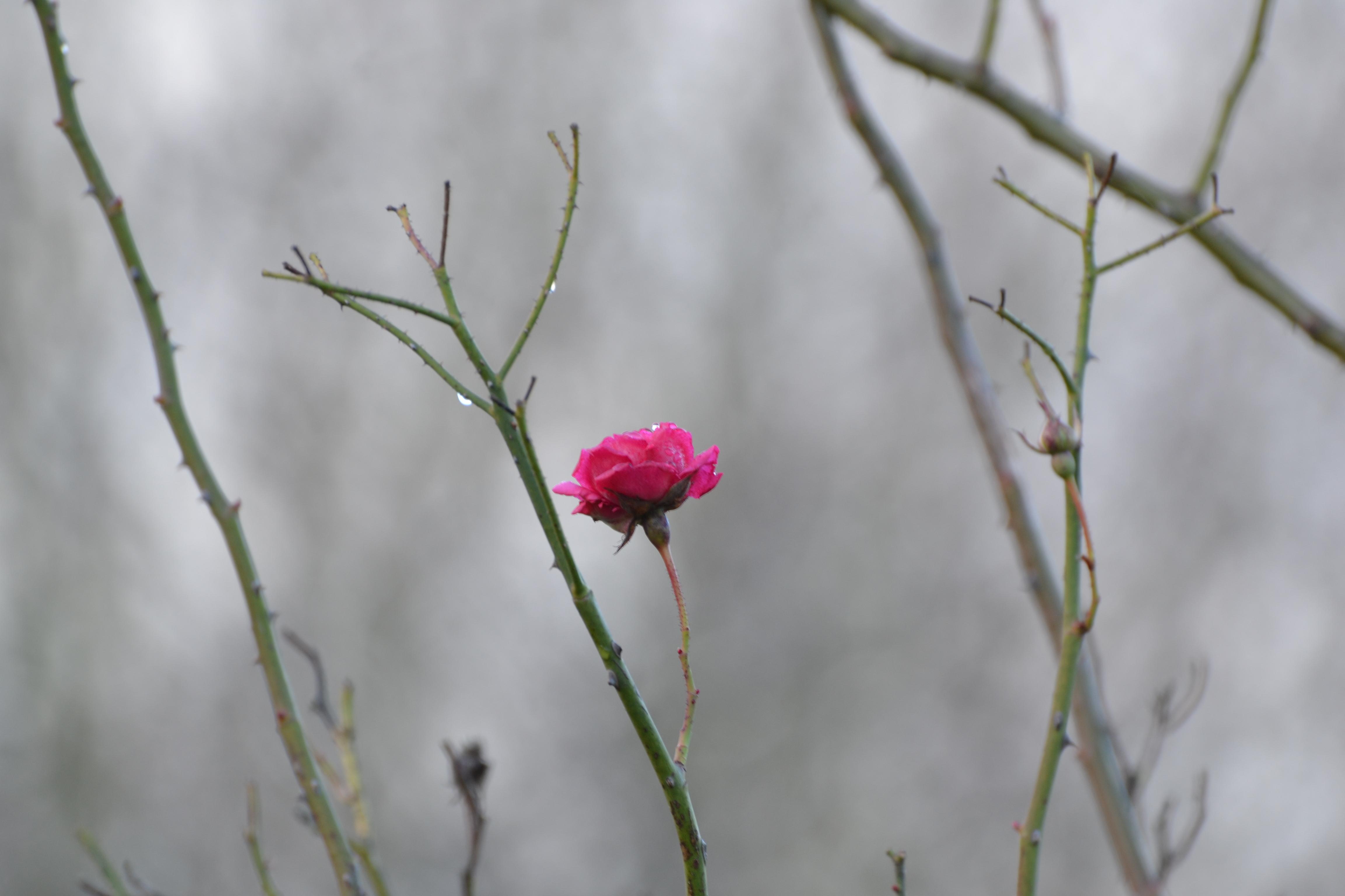 Pink Rose (3)