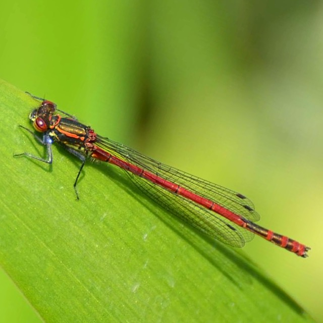 Small Red Damselfly side