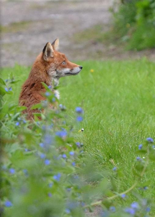 Mum Fox